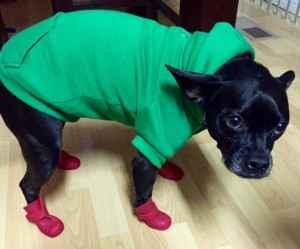 "CUTE LITTLE ""ELWOOD"" THE DOG SPORTING HIS SWEATER AND BOOTS!"